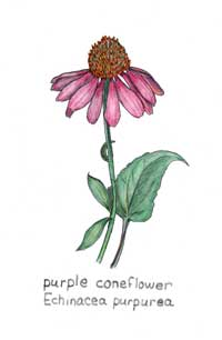 Illustration of Echinacea Purpurea